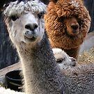 Two Alpacas and oooh a little baby by patjila