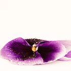 Purple Pansy II by Sara Hazeldine