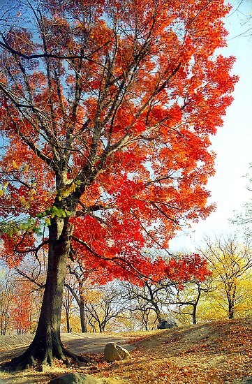 Little Red Tree, Central Park by Alberto  DeJesus