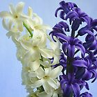 White and mauve hyacinth by MONIGABI