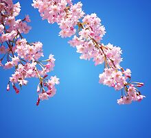 Pink Cherry Blossoms Against A Blue Sky by Vivienne Gucwa