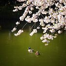 Cherry Blossoms Over A Pond With Ducks by Vivienne Gucwa