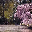 Cherry Blossoms On Trees Next to a Pond by Vivienne Gucwa