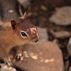 Curious Chipmunk by Michael Lucas