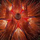 Fire Urchin - Dauin Philippines 2010 by Fatfish Photography