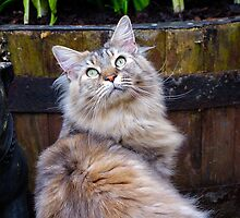 Maine Coon Cat by Moonlake