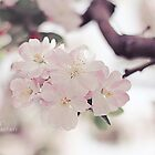 Cherry Blossom by fRantasy