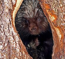 Porcupine home by Jim Cumming