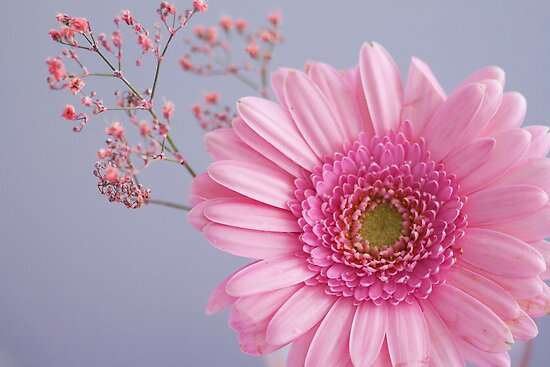 Pink Spray Gerberas by Elaine123