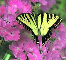 Tiger Swallowtail by DottieDees