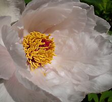 White Tree Peony by Ruth S Harris