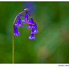the lone bluebell  by Brian  Dwyer