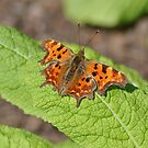 Comma Butterfly on a Primrose Leaf by Dorothy Thomson