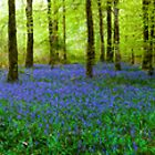 the bluebell wood by Brian  Dwyer