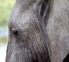 Portrait, African Elephant, Serengeti National Park, Tanzania.  by Carole-Anne