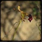 Hammer Orchid by Miriam Shilling