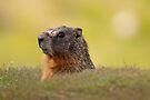 sunning marmot by Rodney55