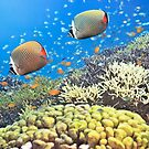 Red-tailed Butterflyfishes by MotHaiBaPhoto Dmitry & Olga