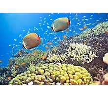 Red-tailed Butterflyfishes Photographic Print