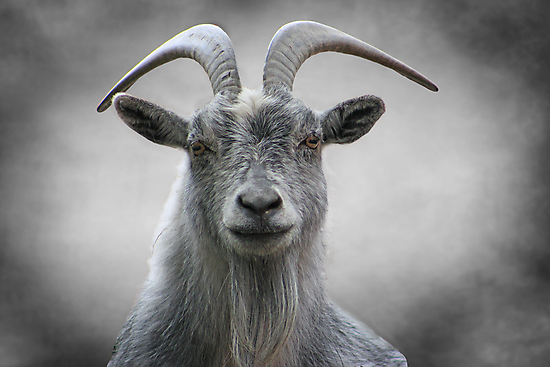 Old Goat by swaby