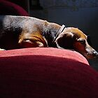 Adult Dachsund Resting on Red Sofa in Sunbeams detailed by Christi Doolittle