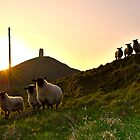 Sheep near Glastonbury Tor by philrwesty