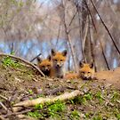 Three Cute Kit Foxes Looking At Me by Thomas Young