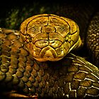 COILED COBRA by Chris Lord