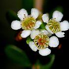 Baeckea camphorata by andrachne