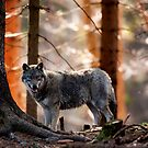Wolf 1 by Norfolkimages