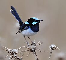 Superb Fairy Wren - Glen Davis in the Capertee Valley by Alwyn Simple