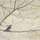 Eastern Bluebird on Tree Branches in Spring by Rebecca  Haegele