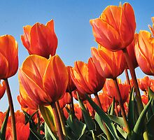 The last tulips of 2011 by Adri  Padmos