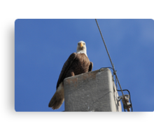 The Bald Eagle Stare Canvas Print