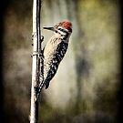 Ladder-Back Woodpecker  by Saija  Lehtonen