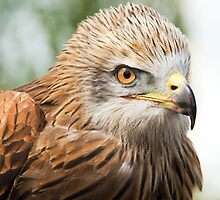 Black Kite (Milvus migrans) by Steve  Liptrot
