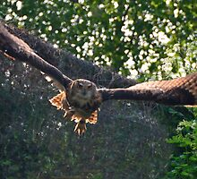 swooping eagle owl by Steve