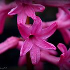 Pink Hyacinth by smalletphotos