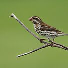 Purple Finch (Female) by Bill McMullen