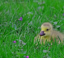 Gosling by Sharon Batdorf