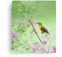 Out on a limb - Sunbird Canvas Print