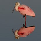 Spoonbill Reflection- Roseate Spoonbill by Tom Dunkerton