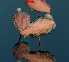 Nap Time- Roseate Spoonbills by Tom Dunkerton