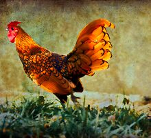 Rooster by martinilogic