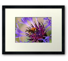 Mountain Cornflower and a Bumble Bee Framed Print
