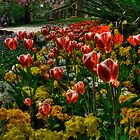 Tulips of Harrogate by Rob Hawkins