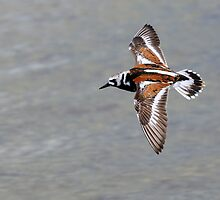 Turnstone Flight- MINWR by Tom Dunkerton