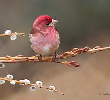 Purple Finch on pussywillow by Michaela Sagatova