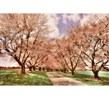 Down The Cherry Lined Lane Photographic Print