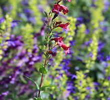 Penstemon by Asoka